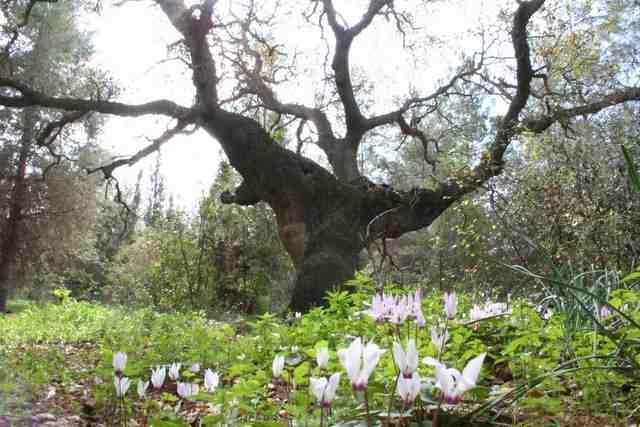 אלון ביער עירון