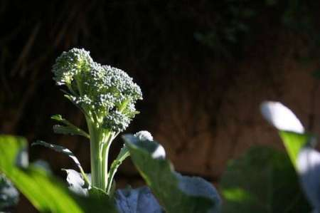 ברוקולי בגינה