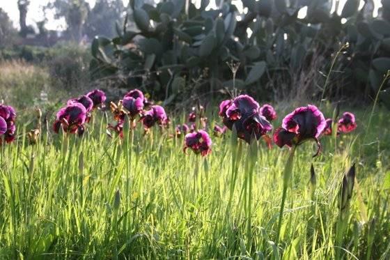 Iris atropurpurea אירוס הארגמן